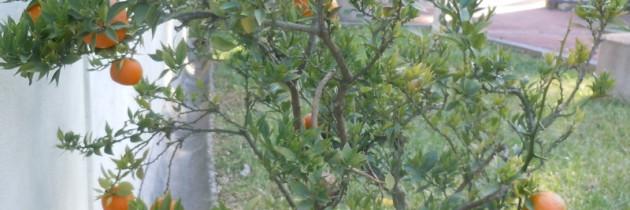 Mandarynki w parku