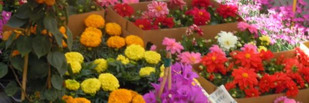Kwiaty na targu w Pistoi