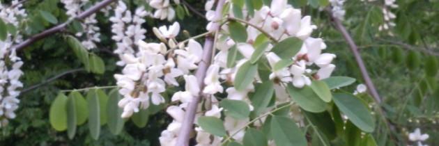 Smazone kwiaty akacji