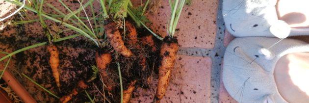 Ostatnie marchewki z tarasu