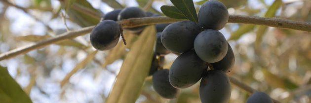 Zbieranie oliwek