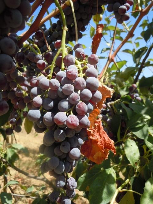 winogrona_ekologiczne