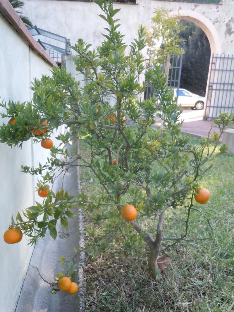 drzewo_mandarynkowe_park_pistoia_toskania