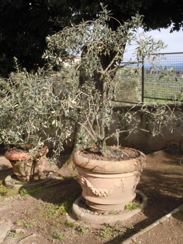donica_z_drzewem_oliwnym_moja_toskania