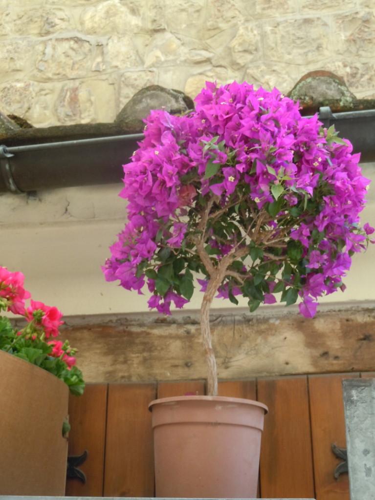 fioletowe_kwiaty_targ_pistoia_moja_toskania