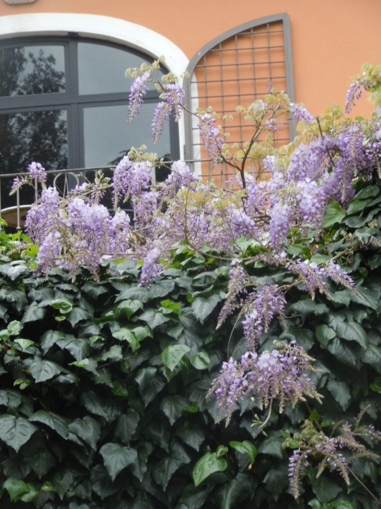 fioletowe_kwiaty_we_florencji_moja_toskania