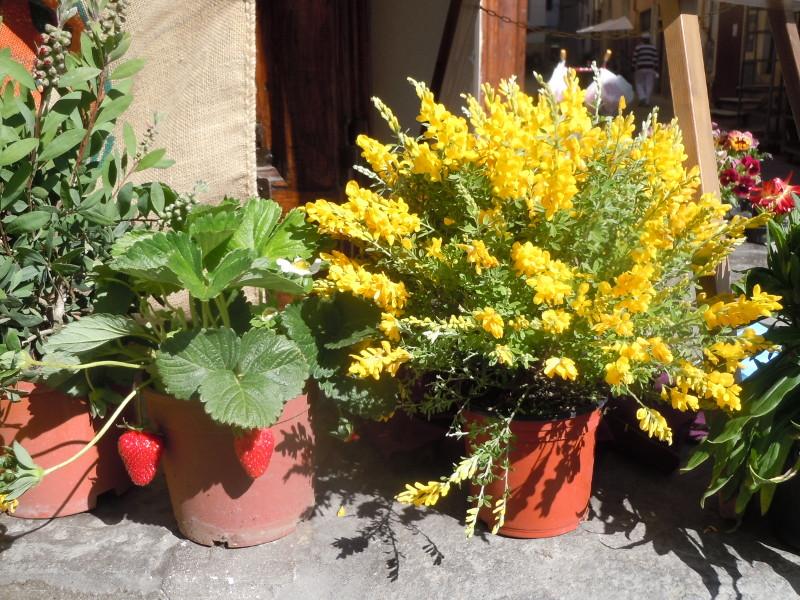 truskawki_i_zolte_kwiaty_pistoia_targ_moja_toskania