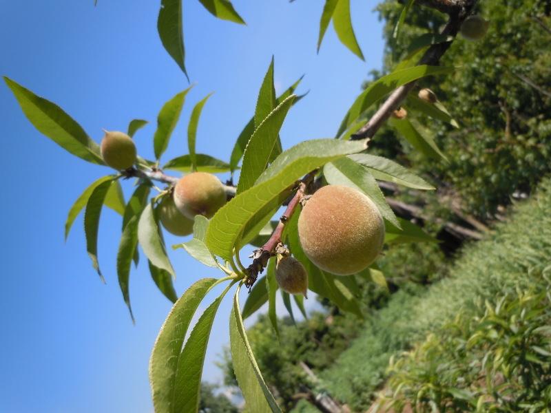 brzoskwinie_na_drzewie_moja_zielona_toskania