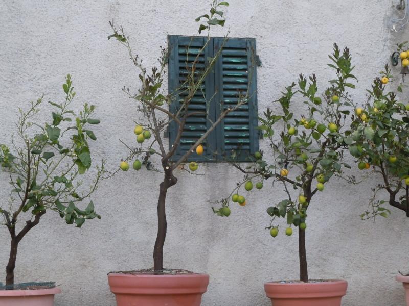 drzewa_cytrynowe_moja_toskania