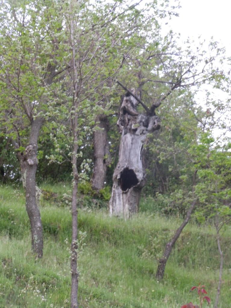 drzewo_kasztanowe_z_dziura_moja_toskania