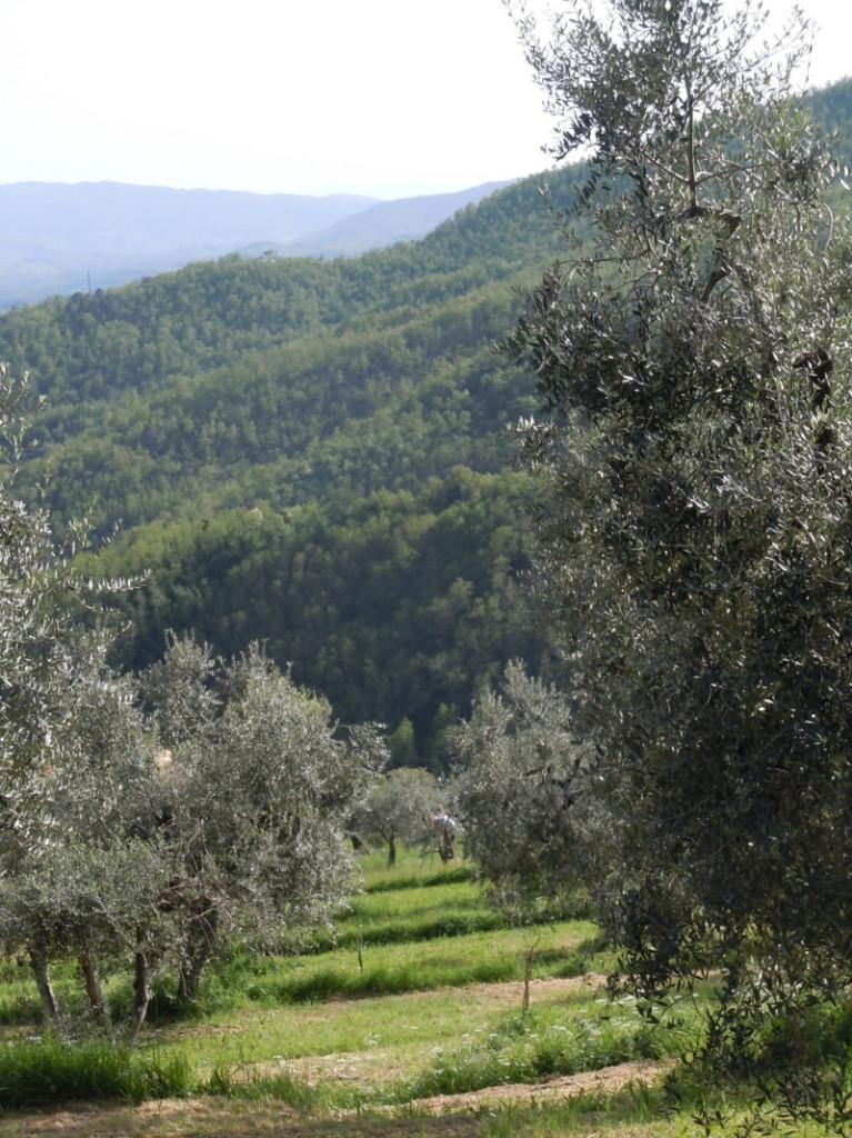 gory_pistoi_drzewa_oliwne_moja_toskania
