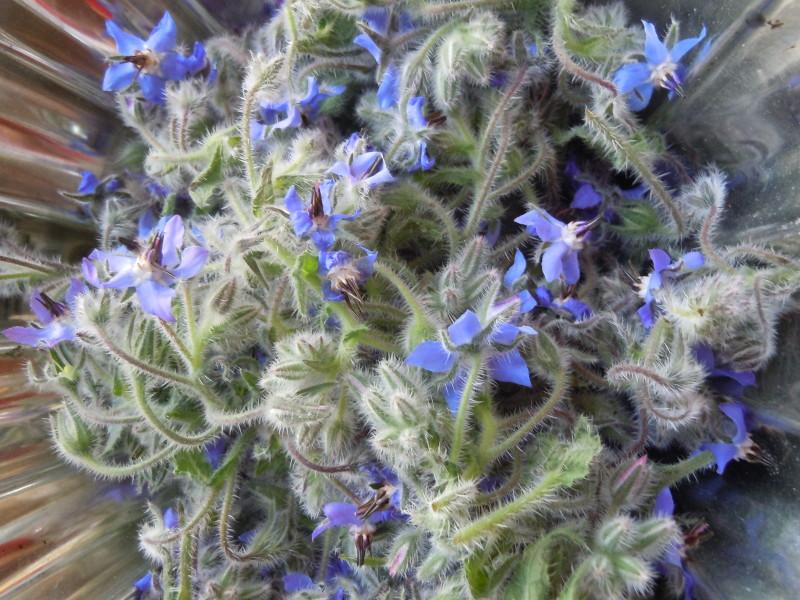 kwiaty_ogorecznika_lekarskiego_moja_toskania
