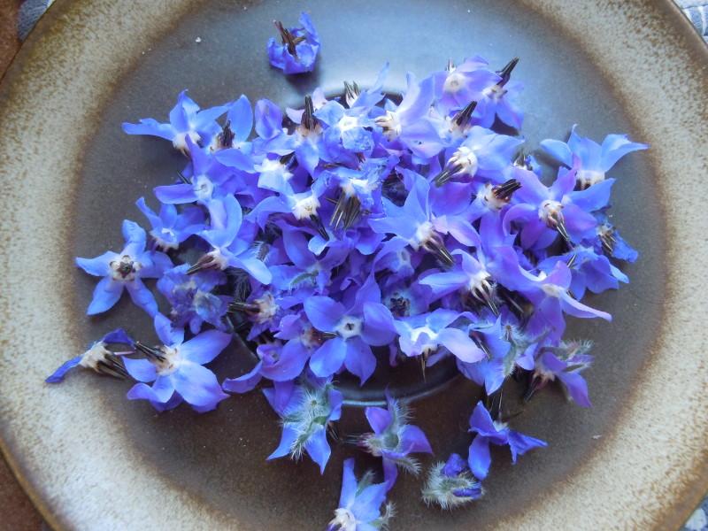 Obrane kwiaty ogorecznika lekarskiego