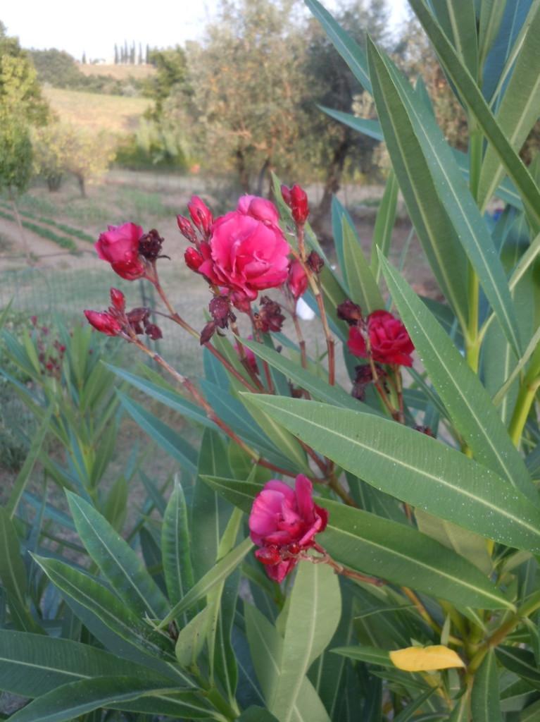 ciemnorozowe_kwiaty_moja_toskania