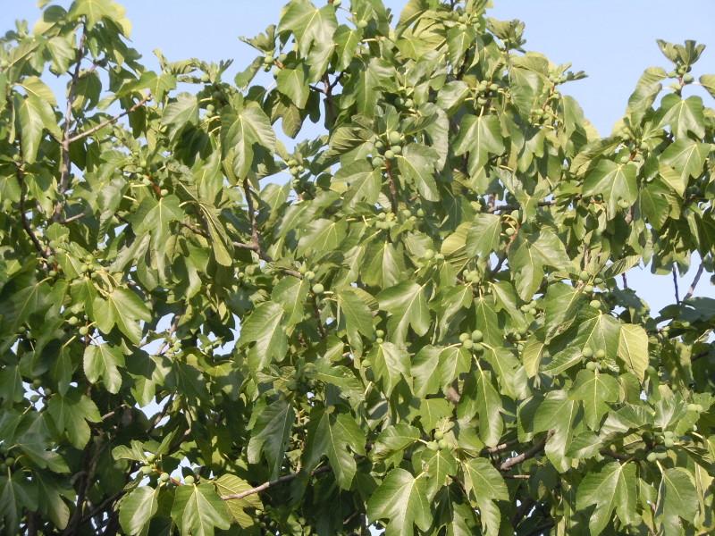 drzewo_figowe_moja_toskania