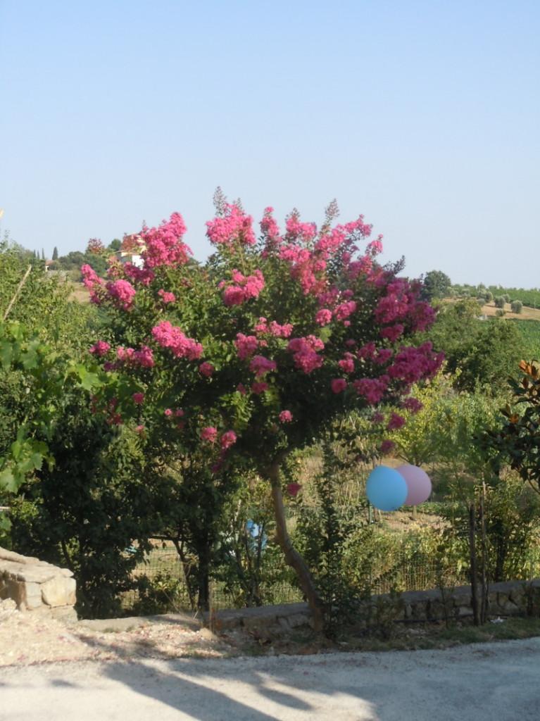 drzewo_z_rozowymi>kwiatami_moja_toskania