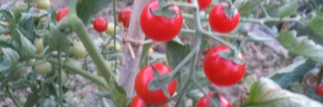 Nadchodzą pomidory