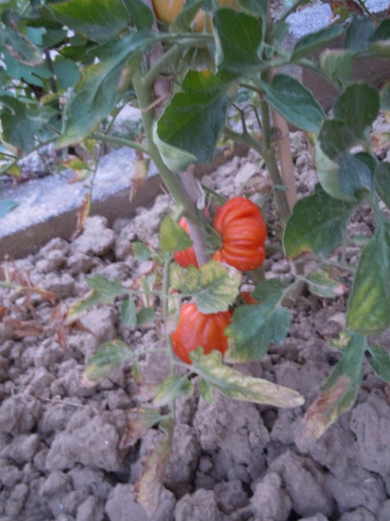 pomidory_canestrini_moja_toskania