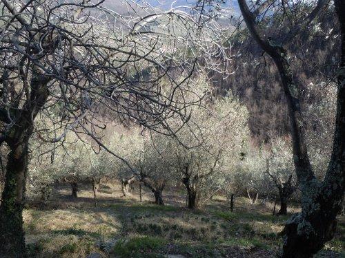 Gaj oliwny w gorach Toskanii