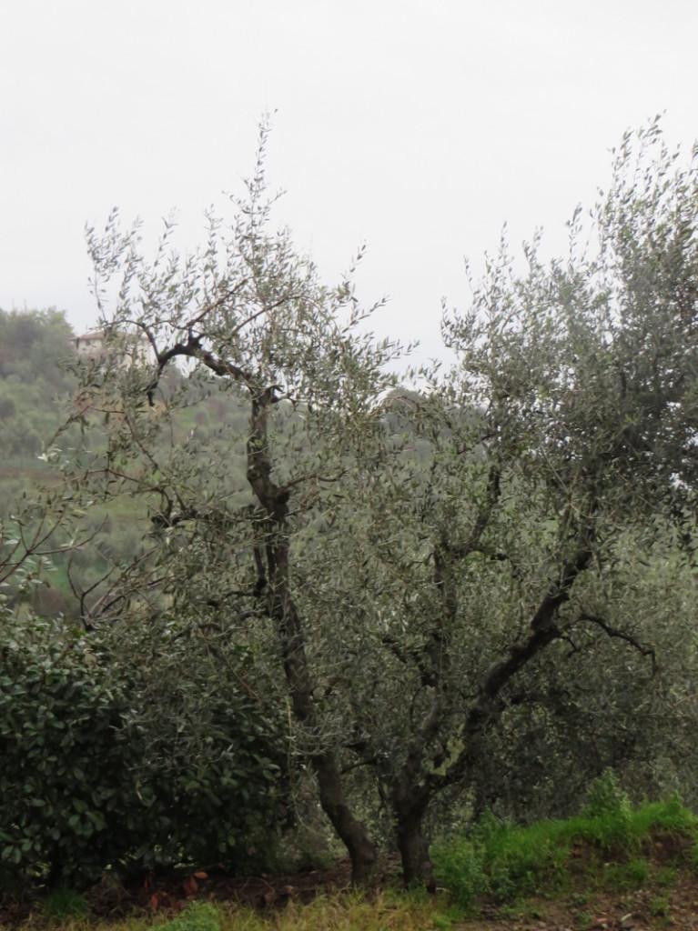 drzewo_oliwne_costa_uzzano_moja_toskania