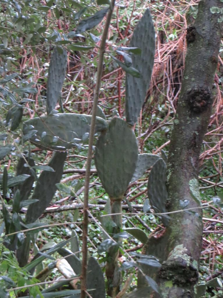 kaktus_costa_uzzano_moja_Toskania