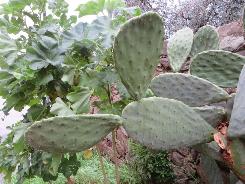 kaktusy_przy_drzewach_oliwnych_costa_uzzano_moja_Toskania