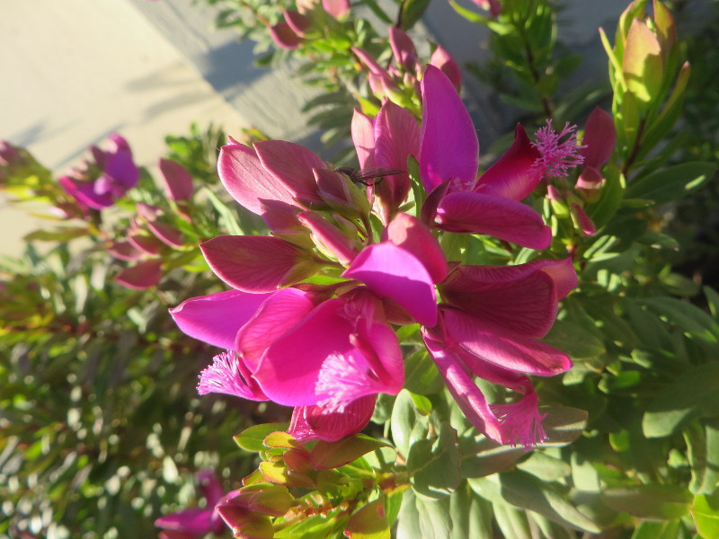 rozowy_kwiat_cantagrillo_moja_toskania