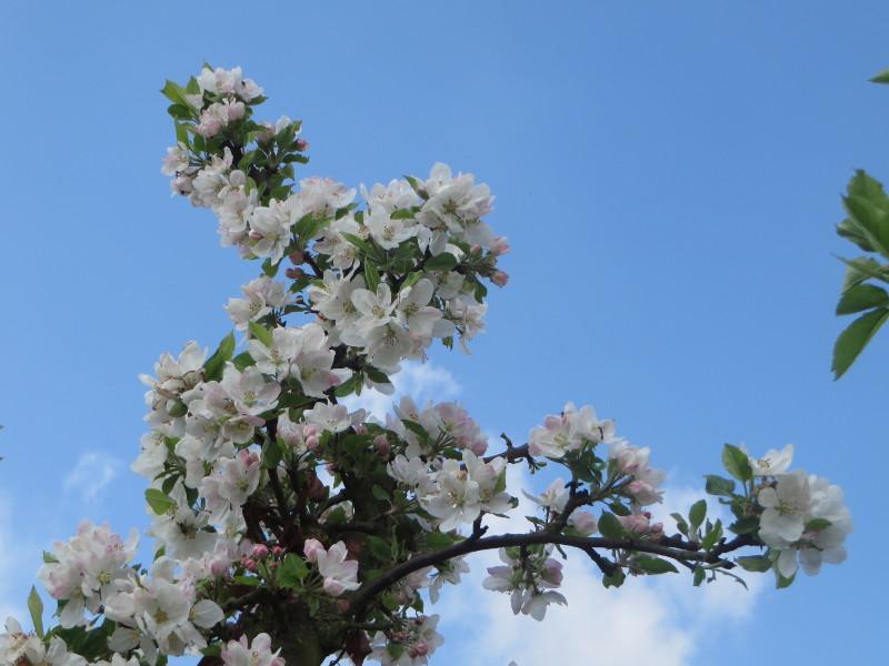 biale_kwiaty_jabloni_moja_toskania