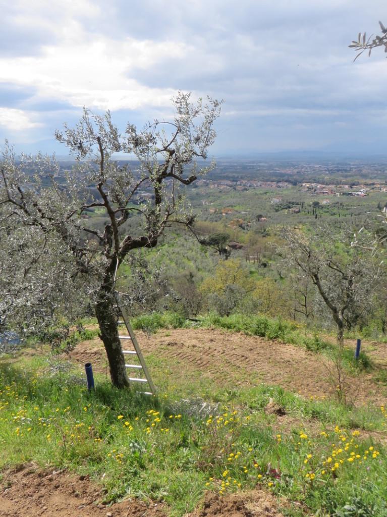 drzewo_oliwne_z_drabina_moja_toskania_porciano