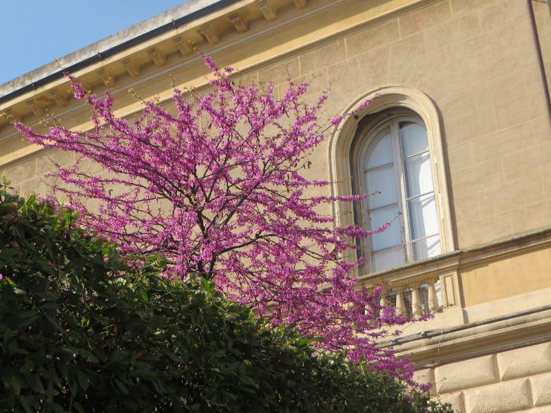 drzewo_z__rozowymi_kwaitami_moja_toskania_piza