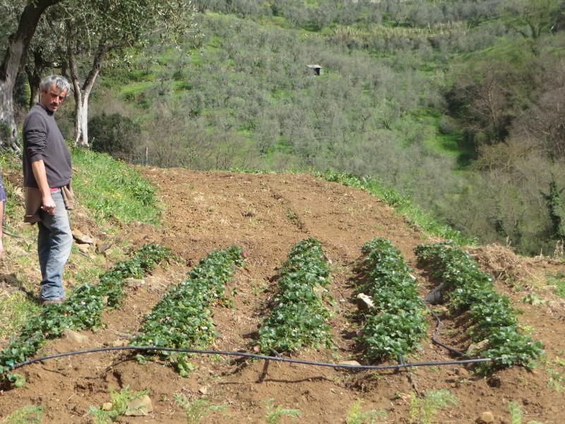 Fabiano na plantacji truskawek