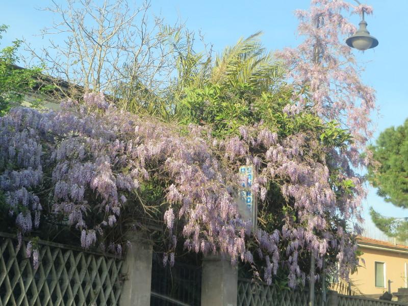 fioletowe_kwiaty_piza_moja_toskania