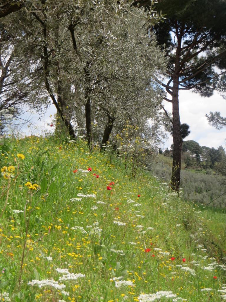 maki_i_drzewo_oliwne_moja_toskania_porciano