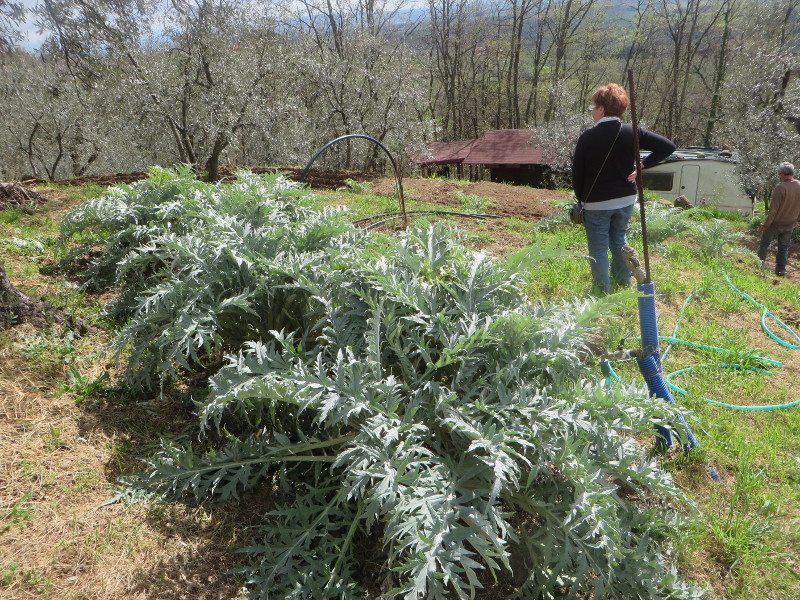 plantacja_kardow_moja_toskania_porciano