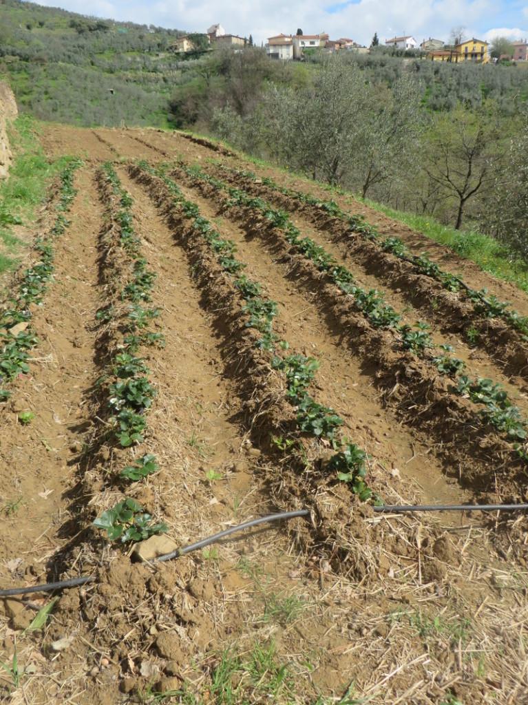 plantacja_truskawek_porciano_moja_toskania