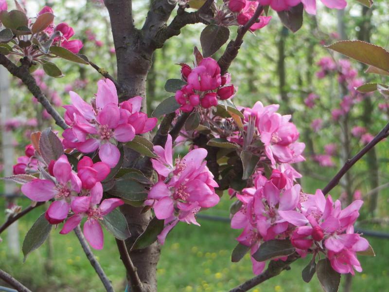 rozowe_kwiaty_przyblizenie_moja_toskania