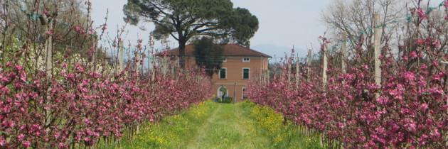 Sad Ezio w okolicach Orentano