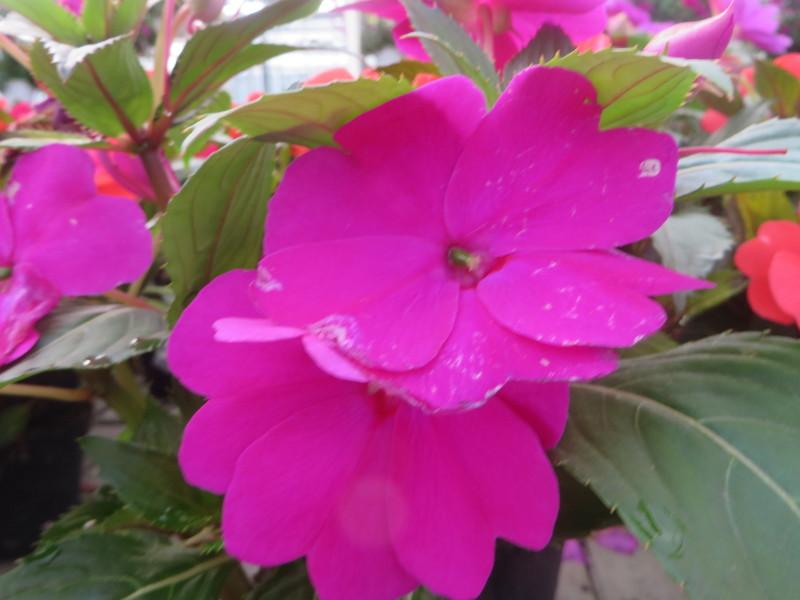 duze_rozowe_kwiaty_moja_toskania
