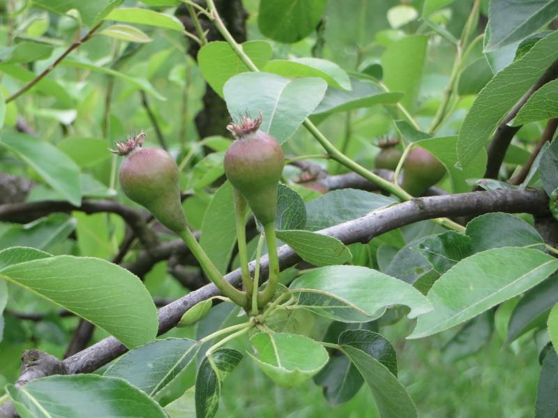 gruszki_na_drzewie_moja_toskania