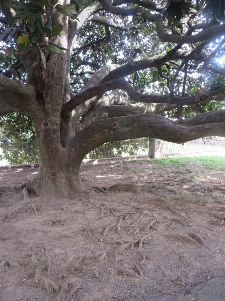 korzenie_duzego_drzewa_park_villone_moja_toskania_pistoia