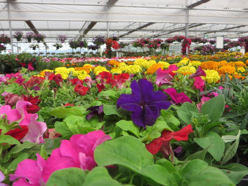 kwiaty_w_szklarni_moja_toskania