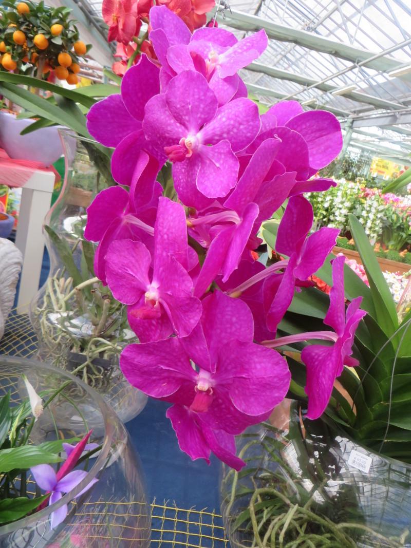 Rozowa orchidea (nie pamietam nazwy)