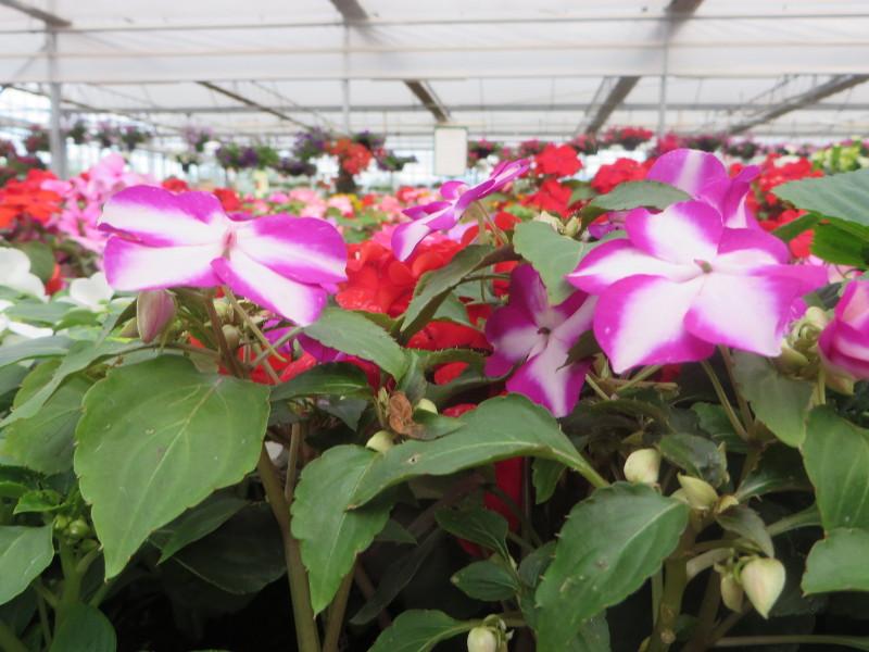 rozowo_biale_kwiaty_moja_toskania