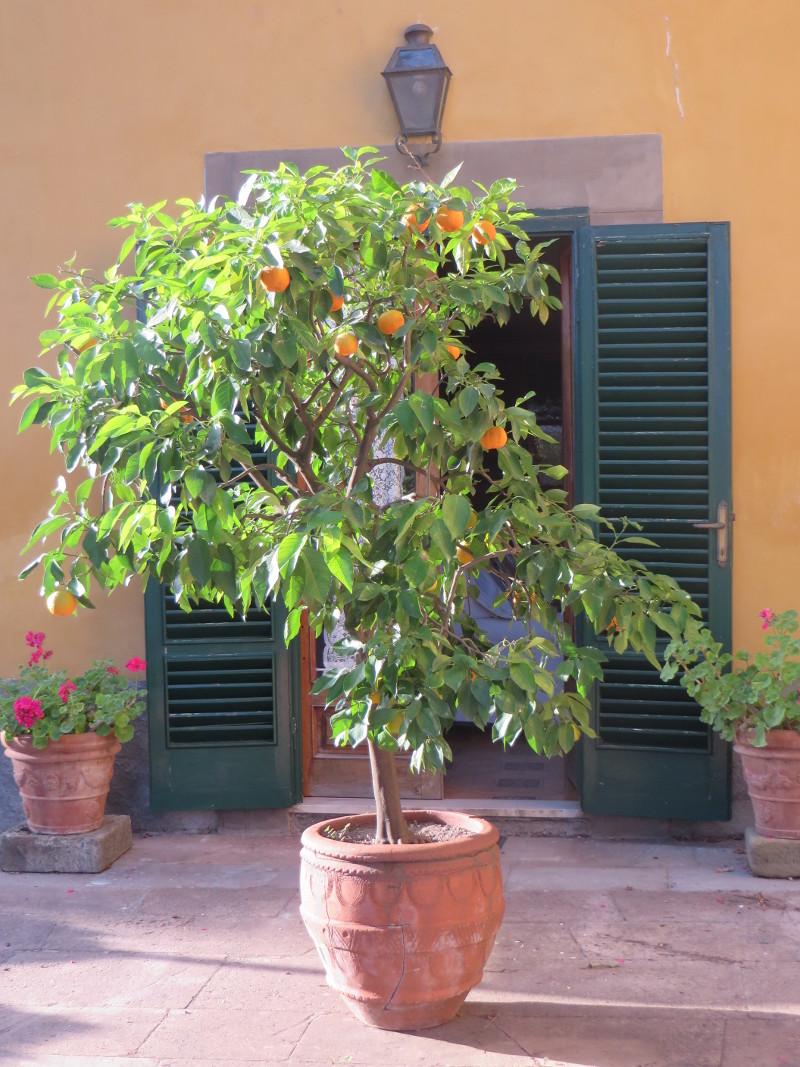 drzewko_pomaranczowe_marlia_moja_toskania