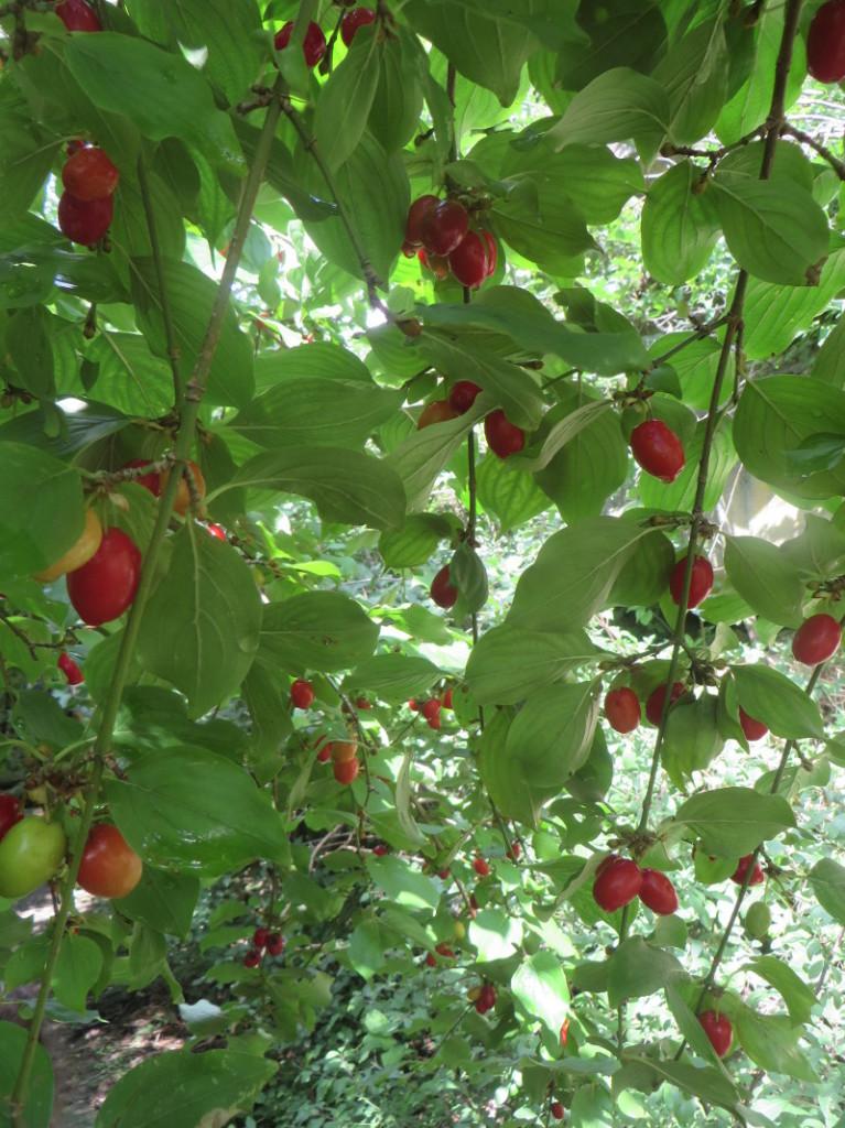czerwone_owoce_w_lesie_moja_Toskania