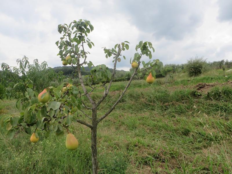 drzewo_gruszkowe_moja_moja_toskania