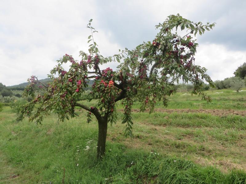 drzewo_renklod_moja_toskania