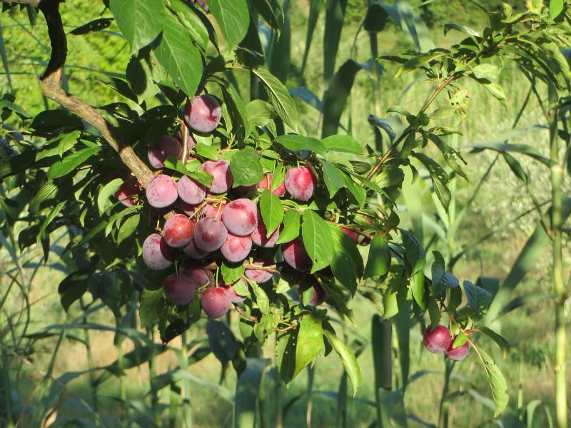 drzewo_renklod_w_sloncu_moja_toskania