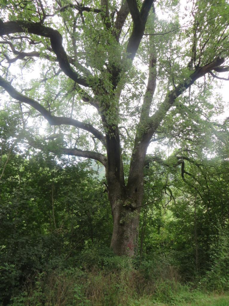duze_drzewo_castiglioncello_moja_toskania