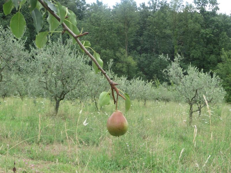gruszka_drzewa_oliwne_moja_toskania